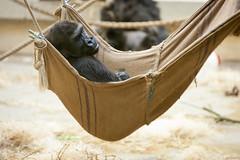 2012-01-01-13h35m59.272P2949 (A.J. Haverkamp) Tags: amsterdam zoo gorilla thenetherlands artis dierentuin shomari canonef70200mmf28lisusmlens httpwwwartisnl dob12072007 pobamsterdamthenetherlands