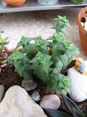 crassula perforata (succulove) Tags: plant succulent crassula perforata