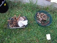 imgp5009 (Ms. Graveyard Dirt) Tags: yard 04 deer 01 02 bone roadkill entry