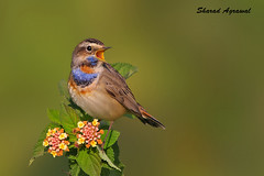 A MORNING SAGA.........BLUETHROAT..A VERY HAPPY NEW YEAR TO ALL MY FRIENDS (sharadagrawal931978) Tags: new morning india bird nature birds canon happy december wildlife year sigma os apo saga rajasthan udaipur dg sharad agrawal 2011 bluethroat luscinia hsm muscicapidae a svecica 40d f563 150500mm