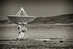 no one, but us cows... (bytegirl24) Tags: bw mountains newmexico cattle cows dish magdalena vla radiotelescope verylargearray sanaugustinplains
