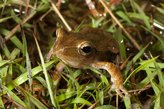 Four-lined tree frog, Polypedates leucomystax (Jeremy Ringma) Tags: malaysia polypedatesleucomystax fourlinedtreefrog