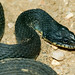 Yellowbelly Water Snake