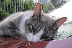Siesta (LinaMon) Tags: car cat sunny gato carro