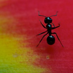 One tiny black ant (Deb Jones1) Tags: flowers red summer flower macro nature floral beauty canon garden insect botanical outdoors flora ant explore tropical blooms heliconia flickrduel debjones1
