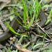 Juvenile Gulf Crayfish Snake