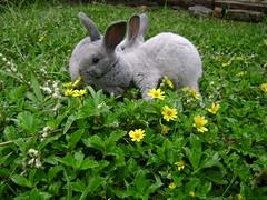 [Rabbits] Yummy dandelion flower (holyrabbit) Tags: konijn conejo coelho lapin kaninchen coniglio arnab    conill    kelinci  ternakuangbersamakelinci faizmanshur kelincidomestik bukukelinci