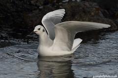 Bonaparte's Gull (gcampbellphoto) Tags: canon birdsinflight northernireland bif bonapartesgull antrim rarity rarebirds ballygally irishwildlife americangulls