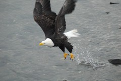 WFF_5596.JPG (wfischer) Tags: alaska nikon eagle bald ak juneau d200 dipac