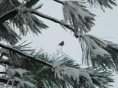Snow covered pine frame (Shekam) Tags: snow bird branch frame needles wintry