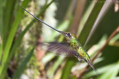 Sword-billed Hummingbird (Ensifera ensifera) (Jeluba) Tags: bird nature canon ecuador wildlife aves ornithology birdwatching oiseau neotropical swordbilledhummingbird ensiferaensifera schwertschnabelkolibri colibriportepe