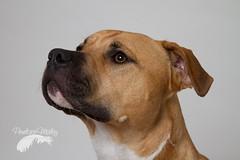 Handsome devil (Penelope Malby Photography) Tags: rescue dog mastiff canine bailey needahome mastiffcross staffycross tanandwhitedog epsomcaninerescue