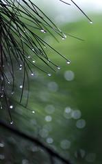 Bokeh rain (Thiago Souto) Tags: brazil tree verde green folhas leaves rain brasil pinetree leaf drops bokeh sony chuva gotas sp alpha folha árvore pinheiro α a230 valinhos silkybokeh flickraward α230