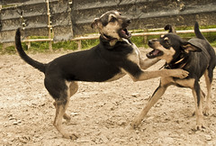 Fight (rgugliotta7) Tags: dog dogs animals play perros juego pelea animalkingdomelite