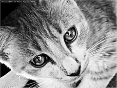 Closer (Fortunes2011) Tags: blackandwhite bw cats pets animals cat in