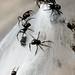 Spiderlings 7710
