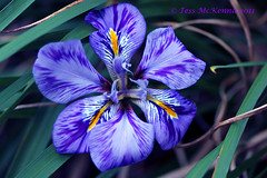 Explored:  Jan 20, 2012 #67 Wild Iris # 2 036 copy (Tess Mc Kenna Home) Tags: flowers flower macro nature botanical cannon botanicgardens botanicgardensglasnevindublin9 tessmckenna