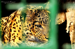 Captured~!~ (Usman Hayat ~back~) Tags: pakistan animals nikon asia captured cheetah nikkor lahore hayat islamabad usman 55300 uhayat