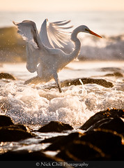 Surf Egret (Nick Chill Photography) Tags: california bird nature animal fauna photography nikon wildlife whiteegret animalia avian greategret shorebird greatwhiteegret ardeaalba whiteheron naturesfinest wadingbird stockimage rinconpoint commonegret specanimal carpinteriastatebeach specanimalphotooftheday d300s nickchill