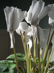 Cyclamen (Plant Design Online) Tags: flowers drama cyclamen houseplants dicot angiosperm