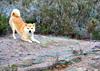 "Wanna Play? (Terje Håheim (thaheim)) Tags: dog pets nature norway horizontal outdoors norge nikon day play hund shiba lek sarpsborg d90 18200mmf3556gvr shibainy petcollar ""lookingatcamera"" ""focusonforeground"" ""nopeople"" ginordicjan12 ""domesticanimals"" ""oneanimal"" ""animalthemes"""