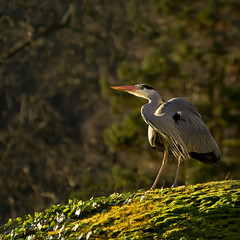 shot on the grassy knoll (Black Cat Photos) Tags: uk england green bird heron nature grass sunshine canon blackcat photography photo europe wildlife yorkshire leeds m knoll grassyknoll greyheron harewood blackcatphotos
