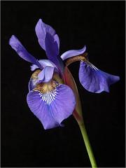 Japanese Iris (Charles Bonham) Tags: iris flower japanese olympus 200mm