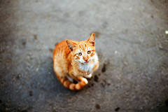 . (Daa) Tags: orange animal cat bokeh leicam7  kodakportra160nc konicamhexanon50mmf12limited
