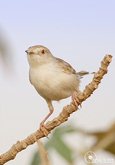 (Faisal Alzeer) Tags: bird birds nikon saudi arabia riyadh faisal ksa        nikkor300mm       fnz   d300s   alzeer  abonasser