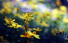 Far away (Nguyn Hong (Mattoet)) Tags: wild abstract flower macro nature beautiful beauty yellow leaf petals natural best l yelow cosmos lanscape hoa 30d artphoto vitnam canon30d hoangnguyen gianh hoangnguyenarc mttot