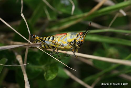 South African Grasshopper 4