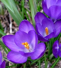 The Hope of Spring to Come (Puzzler4879) Tags: brooklyn purple ngc crocus bbg brooklynbotanicgarden pointshoot botanicgardens purpleflowers canonpowershot purplecrocus canondigital canonaseries floralfantasy canonphotography wonderfulphotos perfectpetals flickraward flickrbronzeaward flickrsilveraward a580 canona580 canonpowershota580 powershota580 amazingdetails unforgettableflowers floralfantasia handselectedphotographs naturesgoldencarousel naturewithallitswonders mygearandme mygearandmepremium weloveallflowers level1photographyforrecreation level2photographyforrecreation redgroupno1 wow1stlevel