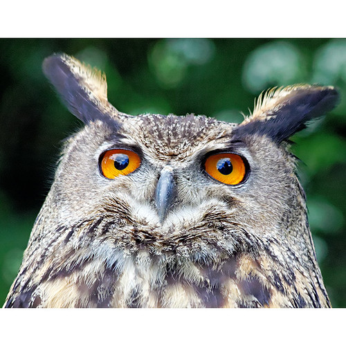 Bengal Indian eagle owl