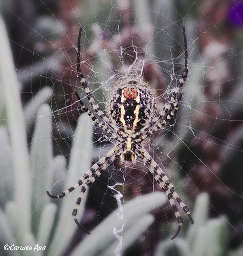 Spider and web (Argiope Trifasciata)