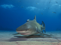 Lemon shark_PCF8924 (Paul Flandinette) Tags: ocean nikon underwater sealife sharks bahamas marinelife lemonshark negaprionbrevirostris oceanlife underwaterphotography tigerbeach dangerousfish paulflandinette