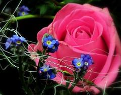 ROSE 3D und Vergissmeinnicht (eagle1effi) Tags: pink flowers red flower macro rot nature rose closeup rouge 3d flora redrose rosa blumen blau fiori blume makro fiore picnik sx1 closer roterose blumenstrauss eagle1effi naturemasterclass sx1best sx1isbest canonsx1ispowershot canonpowershotsx1isreferenceshot
