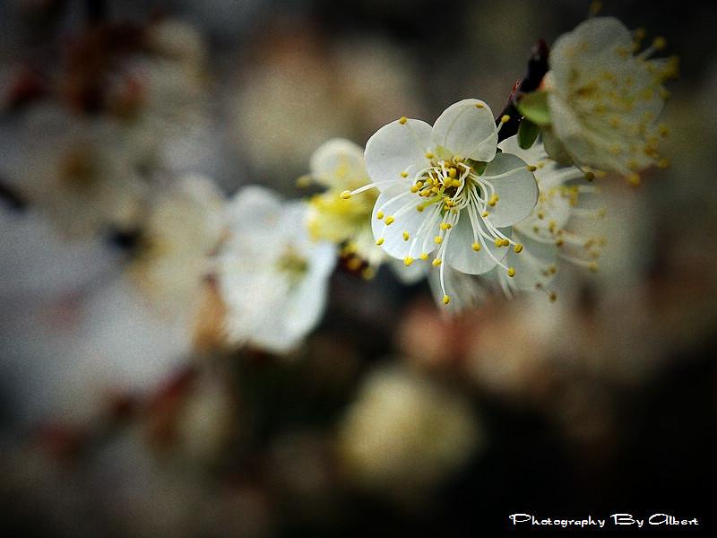 【梅花】桃園復興.角板山公園(賞梅趣)