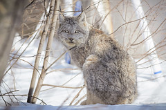 Soft Kitty (Bryan O'Toole) Tags: park ontario canada cat nikon wildlife wildcat soo neighbourhood lynx saultstemarie northernontario canadianlynx softkitty nikond7000 nikonafs300mmf28vr