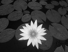 Waterlily Study 1 (Yitchie) Tags: bw flower leaves pond flora waterlily lily wideangle lilypads denisemcdonald