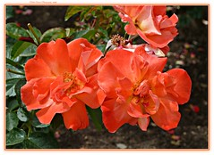 vibrant orange! (MEA Images) Tags: california park flowers roses nature gardens flora socal blooms rosegarden westhills picmonkey orcuttranchhorticulturecenter