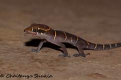 Geckoella deccanensis (Chaitanya Shukla) Tags: india macro lizard maharashtra panshet in deccanbandedgecko geckoelladeccanensis panshet201605 kondhur