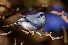 Tacuarita Azul (Polioptila Dumicola) (Javier Chiavone) Tags: argentina ave litoral entrerios polioptiladumicola tacuaritaazul