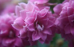 ^ (EXPLORE ) (   flickrsprotte  ) Tags: rosa explore blume kalanchoe makro flammendeskthchen 452016