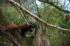See how I move (kennystark95) Tags: red wild cute green nature animal walking panda natural walk wildlife vert bamboo bambou roux feuilles