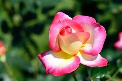 Spring Rose 2016, Furukawa-garden (Yasuz) Tags: nature beautiful rose garden landscape spring nikon pastel furukawa furukawagarden springrose nikondf