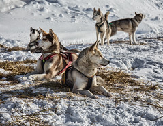Siberian Husky (Siggi007) Tags: travel winter friends portrait dog snow mountains cold cute dogs nature beautiful animal animals norway canon photography norge frozen photo amazing husky flickr foto looking outdoor wildlife natur relaxing norwegen scandinavia farben sledges canoneos6d