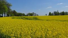 sea of yellow (langkawi) Tags: field yellow jaune germany spring feld gelb mustard raps brandenburg cultivation canola rapeseed