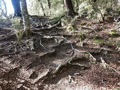 What a tangled web trees weave (mikecogh) Tags: trees forest path web roots bulging tangled pelorusbridge