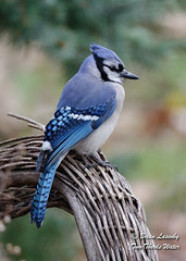 Blue Jay (Brian Lasenby) Tags: chair birdbath composition color bluejay northamerica nature vertical verticalcomposition backyard environment forest wicker animal season spring blue grandbend wildlife behaviour jay perch bird object ontario canada lambtonshores places cyanocittacristata