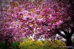 Cherry Blossom Time (Rollingstone1) Tags: park pink flower tree nature cherry blossom outdoor